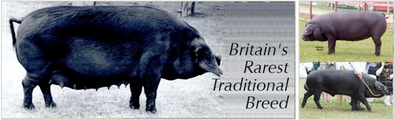 © Large Black Pig Breeders Club