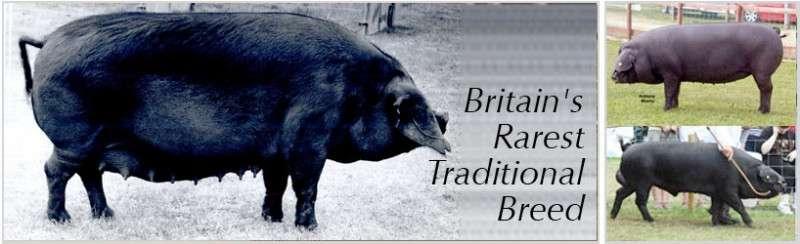 © Large Black Pig Breeders Club