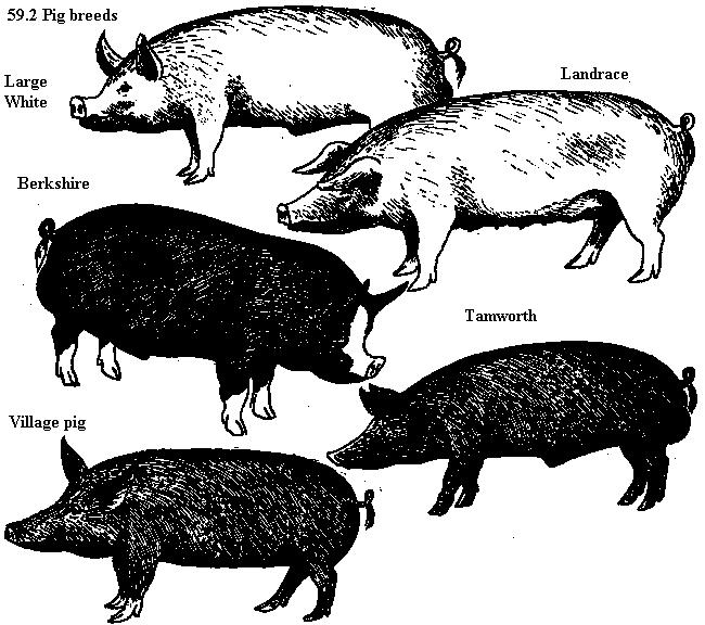 Pig breeds