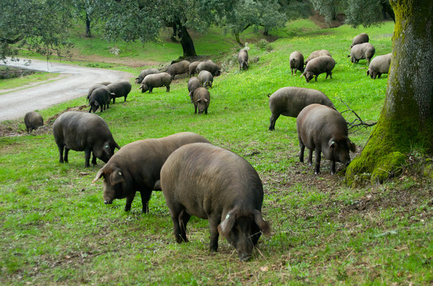 Cinco Jotas Pig Farm