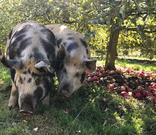 Pigs hoovering up the excess apples