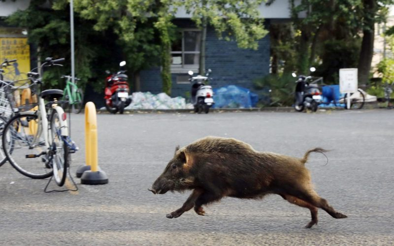 A wild boar runs through the grounds of a Kyoto University dormitory in the western Japan city of Kyoto