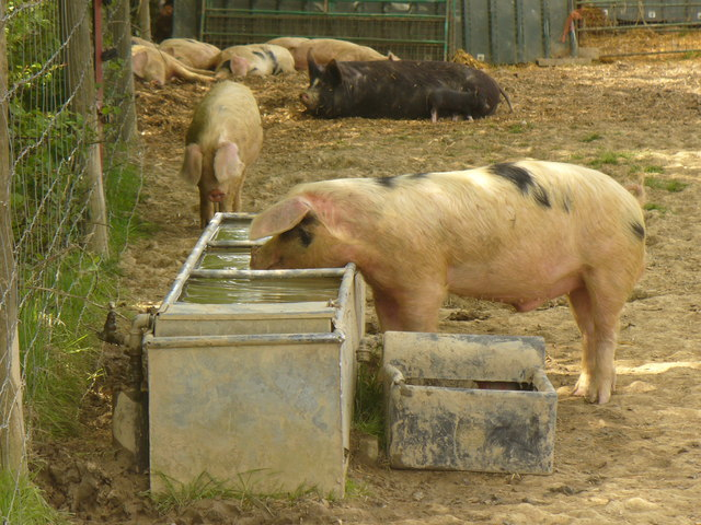 Pig snouts in a trough