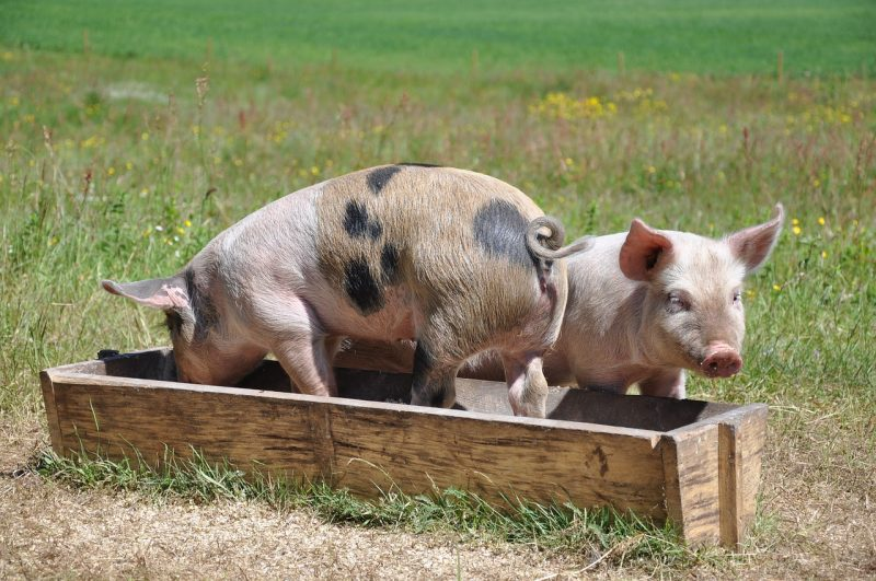 Pigs bathing in a trough