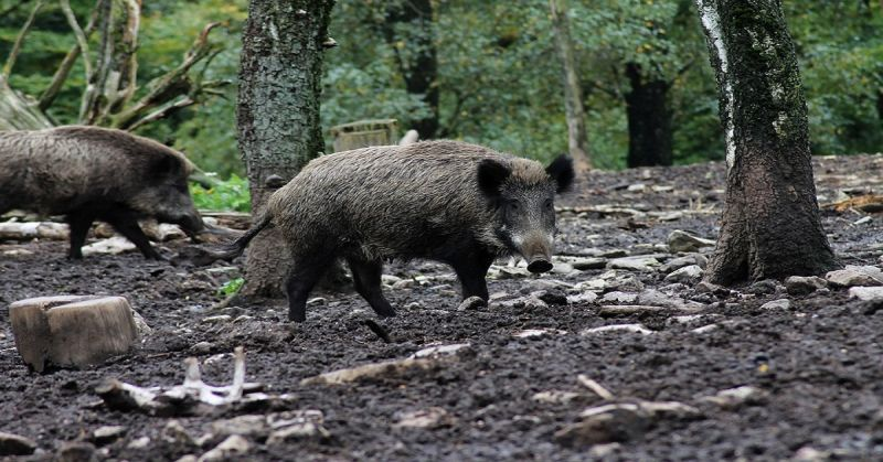 Wild boar sniff out cocaine stash