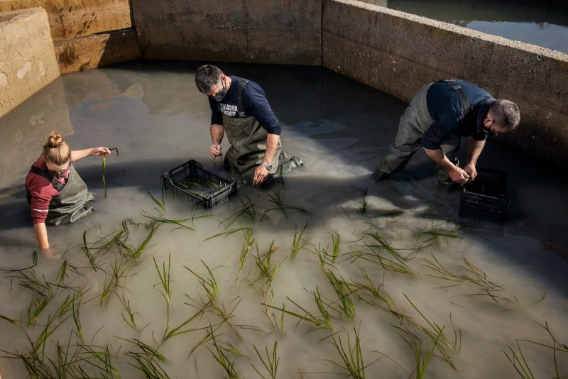 Sea grass being harvested